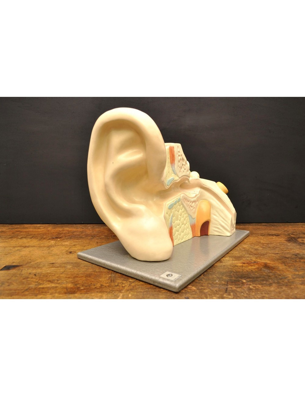 Anatomisch model oor